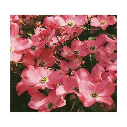 Ausstechformen und Ausstecher Blumenhartriegel