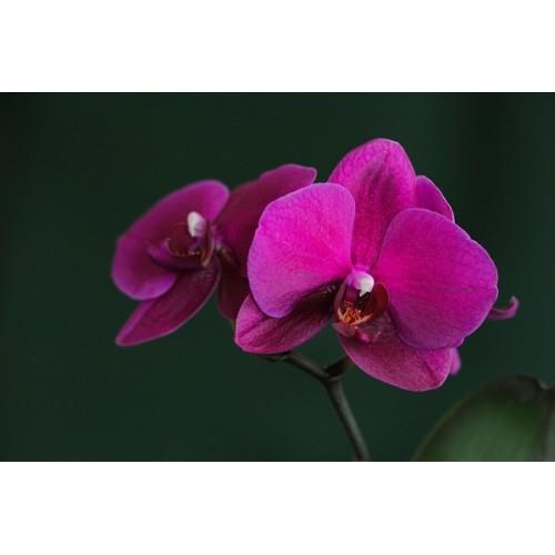 Städter sada vykrajovátek - Orchidej